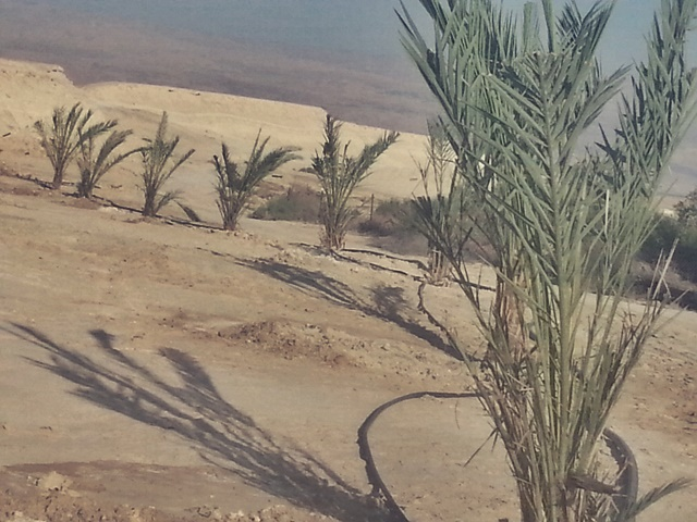 New date palms planted in Beit Hogla east of Jericho